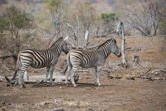两Burchell& x27; 紧挨着站立s的斑马 免版税库存图片