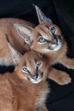 两caracals lounging 库存照片