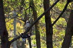 两Kookaburras在树 库存照片