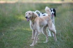 两Kyrgyzian视域猎犬Taigan尾随坐绿色gras 免版税库存照片