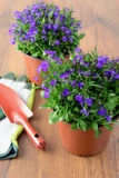 两Lobeloa花盆在与从事园艺的木桌上开花 库存照片