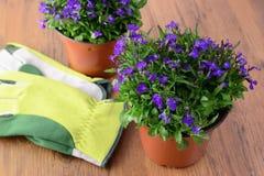 两Lobeloa花盆在与从事园艺的木桌上开花 免版税库存照片