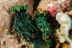 两nudibranch在安汶,马鲁古,印度尼西亚水下的照片 免版税库存图片