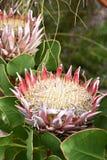 """两olorful桃红色国王普罗梯亚木在植物园里在南非â€的开普敦""""南非的全国花 免版税库存图片"""