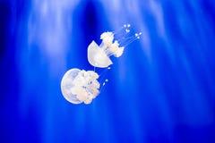 两phyllorhiza punctata,澳大利亚人被察觉的水母 免版税库存照片