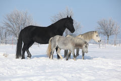 两ponnies和一匹黑白花的母马在冬天 免版税图库摄影