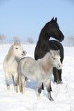 两ponnies和一匹黑白花的母马在冬天 免版税库存图片