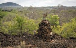 两Skalele跳跃或sassa,在Tsavo西部储备的一只小非洲岩石羚羊 库存照片