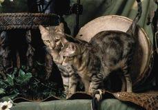 两sokoke猫 库存照片