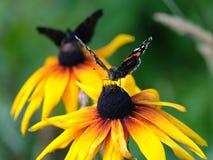 两Vanessa atalanta 红蛱蝶蝴蝶坐黄色花上面迷离绿色背景关闭  免版税库存图片