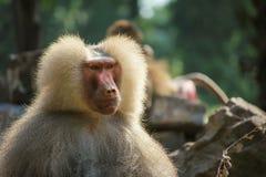 严厉,镇静,披风狒狒猿有很多空的背景 免版税库存图片