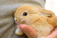 严密地拿着宠物兔子 库存图片