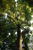 严格的结构树 库存图片