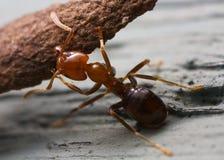 严格的蚂蚁 免版税库存图片
