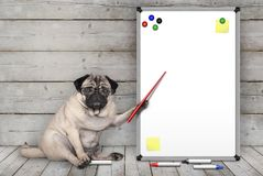 严肃的哈巴狗小狗下来,指向有黄色笔记和磁铁的空白的白板,坐木地板 免版税库存图片
