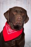 严肃的巧克力实验室狗 免版税库存照片