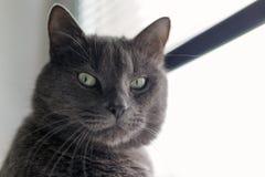 严肃的灰色猫画象 免版税图库摄影