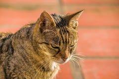 严肃的猫前景 库存照片