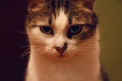 严肃的猫画象 图库摄影