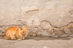 严肃的红色猫 宠物 免版税库存图片