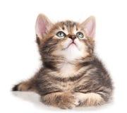 严肃的逗人喜爱的小猫 免版税库存图片