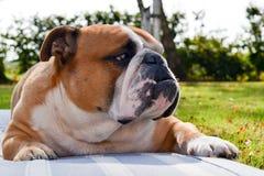 严肃的镇静英国牛头犬画象在自然的 免版税图库摄影
