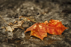 严重的槭树叶子 库存照片