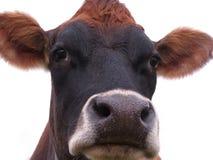 严重的母牛 免版税库存照片