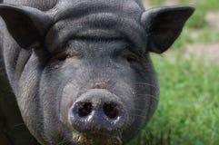 严重的猪 免版税库存照片