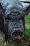 严重的猪 免版税图库摄影