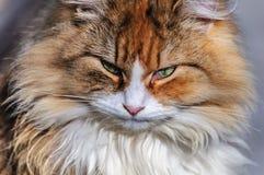 严重的猫 免版税库存图片