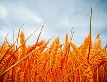 严重的视图wheatfields 库存照片