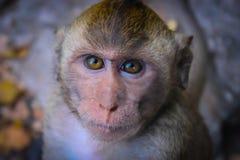 严重的猴子 免版税库存图片