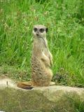 严重的surikata 免版税库存照片