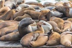 39个动物弗朗西斯科加热了木已知的狮子码头平台圣海运的井 动物是激昂在木平台 免版税库存图片