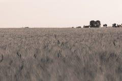2个域麦子 库存图片