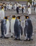 2个对汇聚企鹅国王,站立 免版税图库摄影