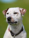 3 4个小猎犬狗纯血统的动物查阅 免版税图库摄影
