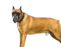 3 4个小猎犬狗纯血统的动物查阅 库存照片