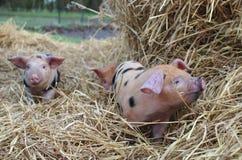 3个小猪牛津和含沙黑色 库存图片