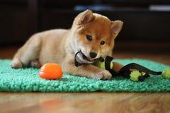 8个很逗人喜爱星期年纪红色shiba inu的小狗 库存照片