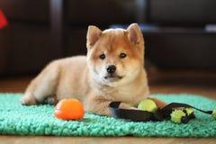 8个很逗人喜爱星期年纪红色shiba inu的小狗 免版税图库摄影