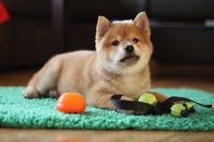8个很逗人喜爱星期年纪红色shiba inu的小狗 库存图片