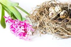 2个所有时段小鸡概念复活节彩蛋开花草被绘的被安置的年轻人 干草桃红色风信花和巢用在白色背景的鹌鹑蛋 免版税图库摄影