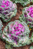 整个无头甘蓝-紫色花 免版税库存图片