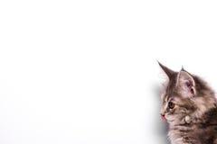 10个星期年纪缅因浣熊小猫 免版税库存图片