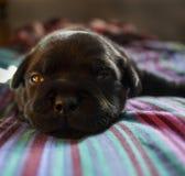 3个星期年纪Staffie小狗 库存图片
