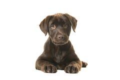 4个月变褐说谎下来看见从前面,与它的在她前面的爪子和看直接的拉布拉多猎犬小狗 免版税图库摄影
