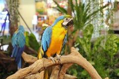 4个月在购物中心的公蓝色和黄色金刚鹦鹉鹦鹉 免版税库存照片