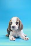 2个月小猎犬小狗坐下和看照相机 库存图片